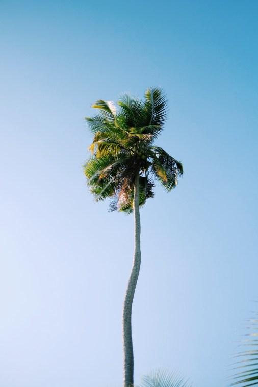 cocotier des iles san blas