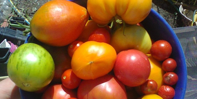 petite récolte de tomates colorées, vertes, oranges, roses, rouges, de toutes tailles