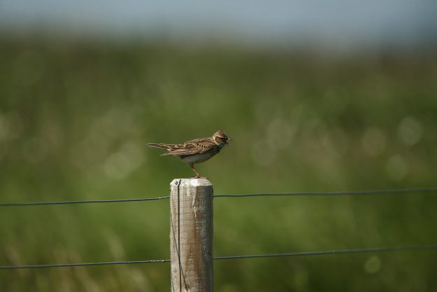 The skylark is under threat in the UK. More than one in 10 of the UK's wildlife species are threatened with extinction. Photo by Dan Kitwood/