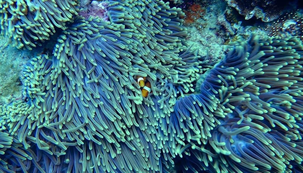 Coraux avec des poissons clown