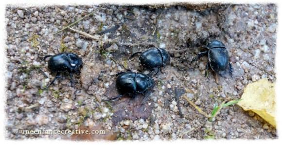 Observer les scarabés
