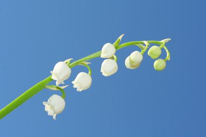 muguet-1er-mai