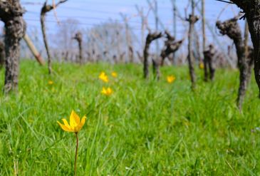 Tulipe sauvage sur le Zotzenberg à Mittelbergheim