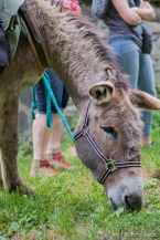 les petits ânes gris ou Steinesala dans la Vallée des Géants