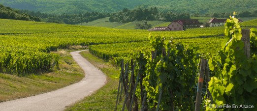 un soir d'été dans le vignoble du Muenchberg à Nothalten