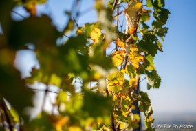 Feuille de vigne dans le Coeur d'Alsace