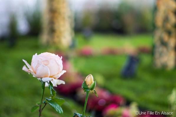 La Rose Folie'Flore spécialement crée pour l'événement