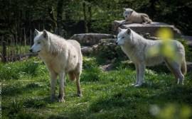 Loup nordique au Parc de Sainte Croix - Photo Céline Schnell Une Fille En Alsace