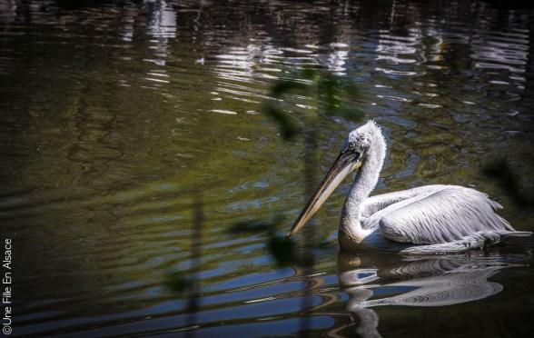 Pelican au Parc de Sainte Croix - Photo Céline Schnell Une Fille En Alsace