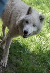 Loup blanc au Parc de Sainte Croix - Photo Céline Schnell Une Fille En Alsace
