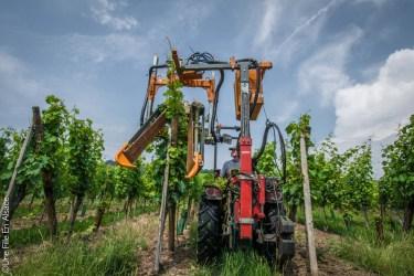 Travail dans le vignoble de Dambach-la-Ville - Photo Céline Schnell Une Fille En Alsace