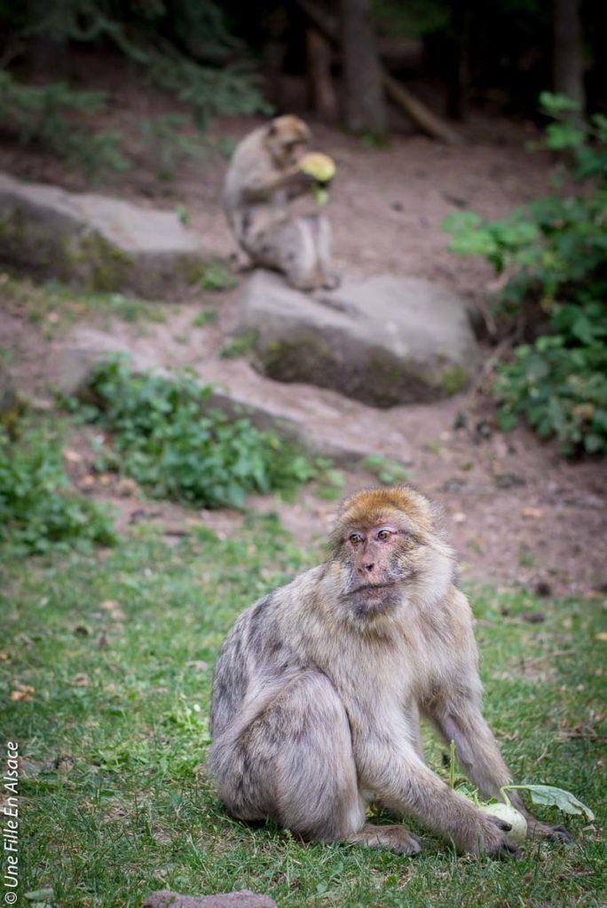 montagne-des-singes-kintzheim©Celine-Schnell-Une-Fille-En-Alsace-2019-11