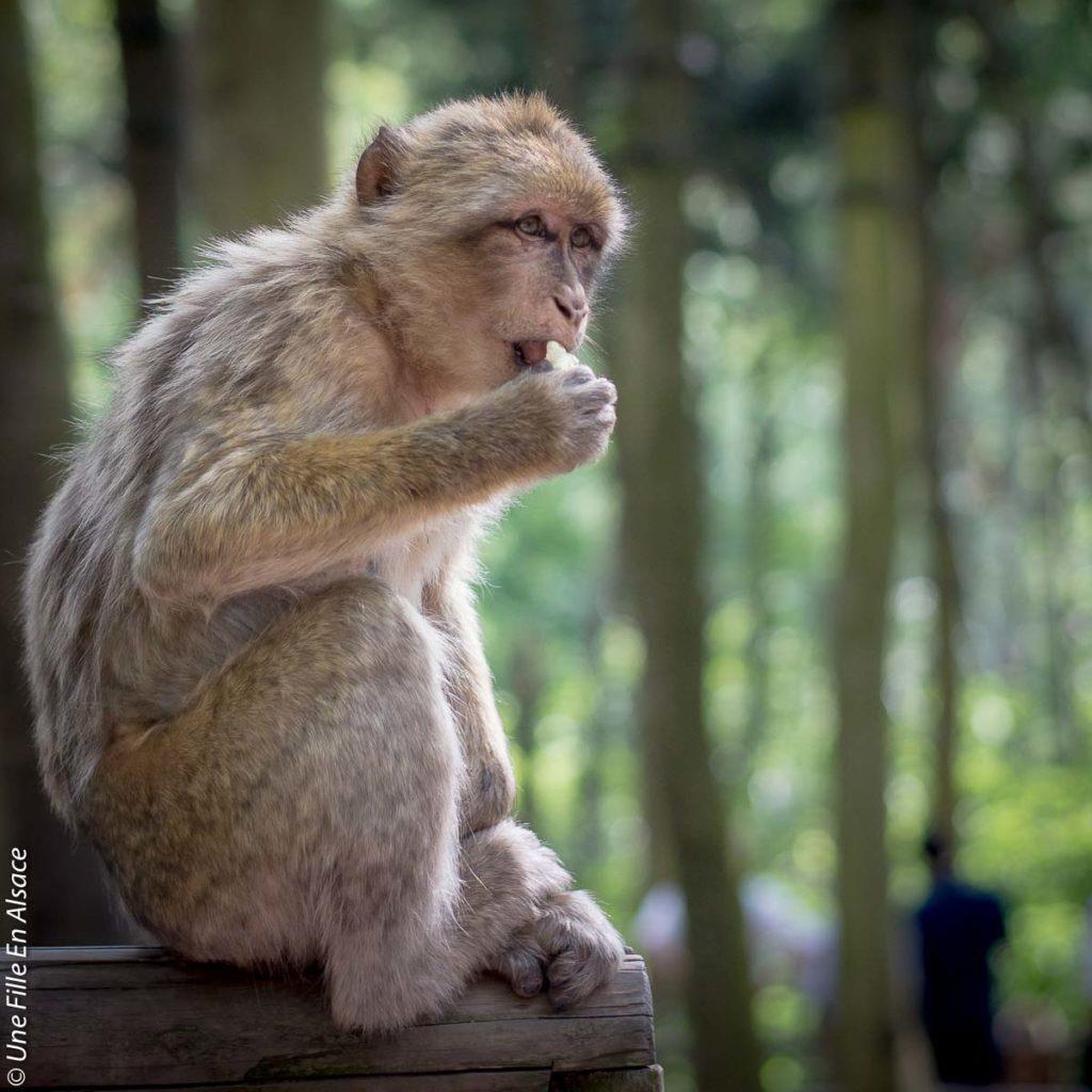 montagne-des-singes-kintzheim©Celine-Schnell-Une-Fille-En-Alsace-2019-18
