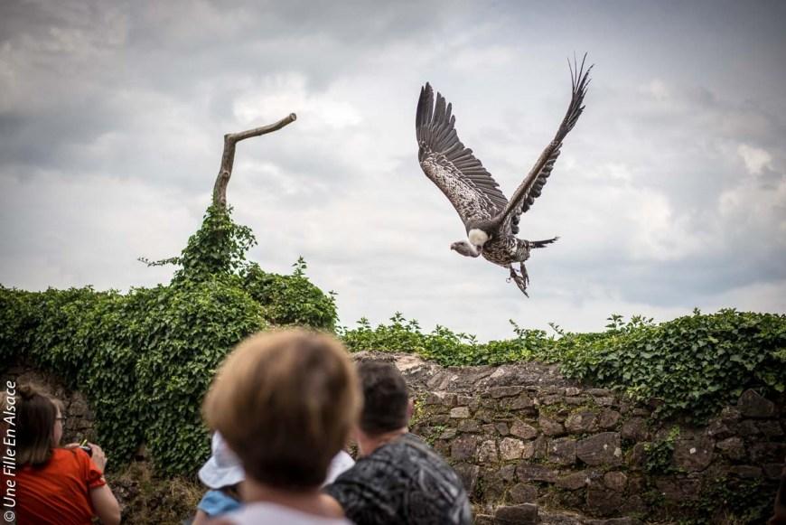 volerie-des-aigles-kintzheim©Celine-Schnell-Une-Fille-En-Alsace-2019-10