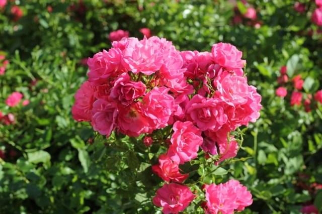 fleurs-fuchsia