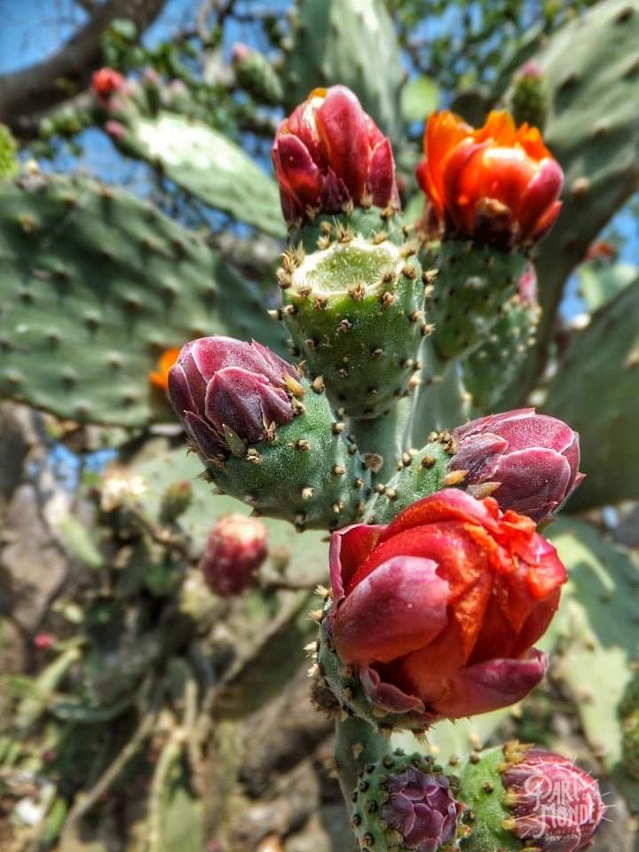 fleurs cactus