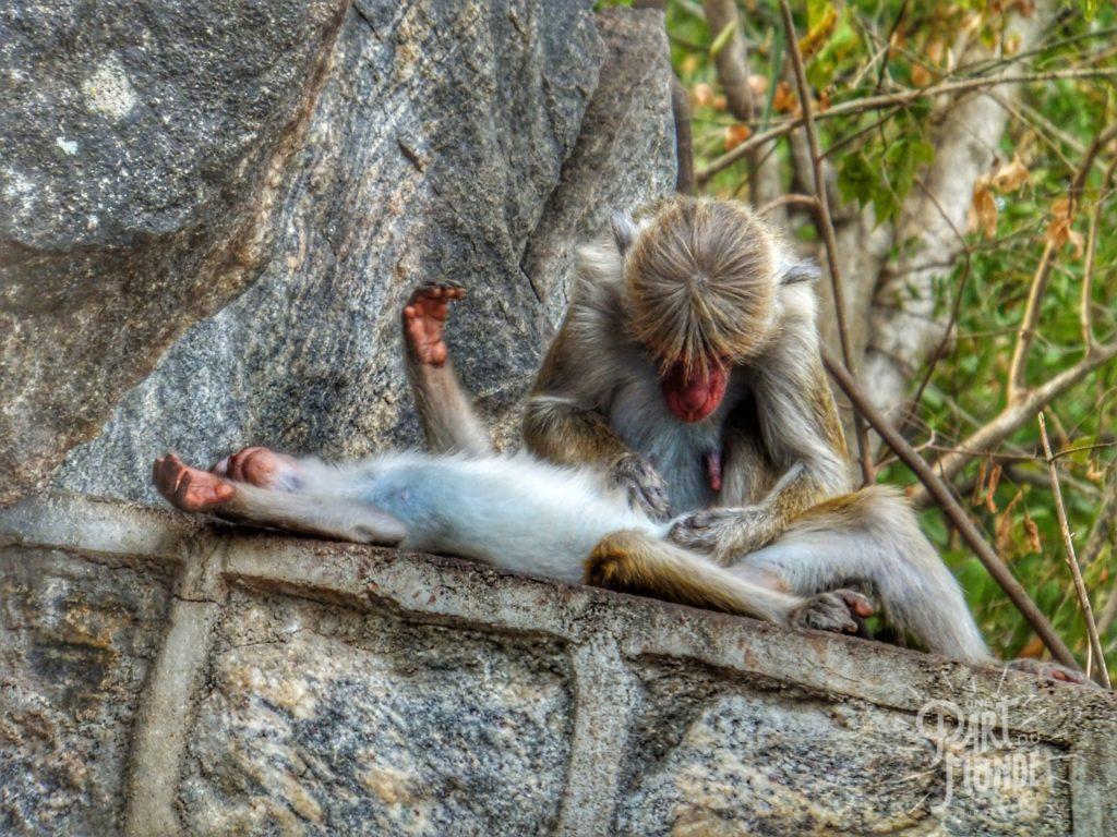 macaque-a-toque-epouillage