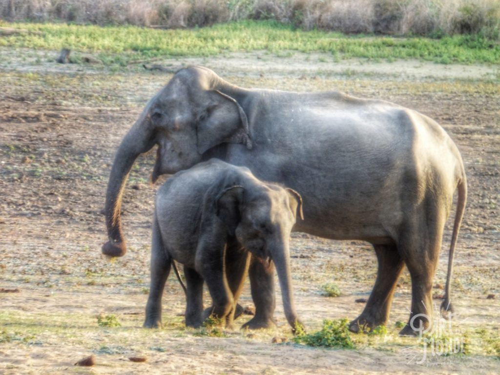 safari uda walawe elephant