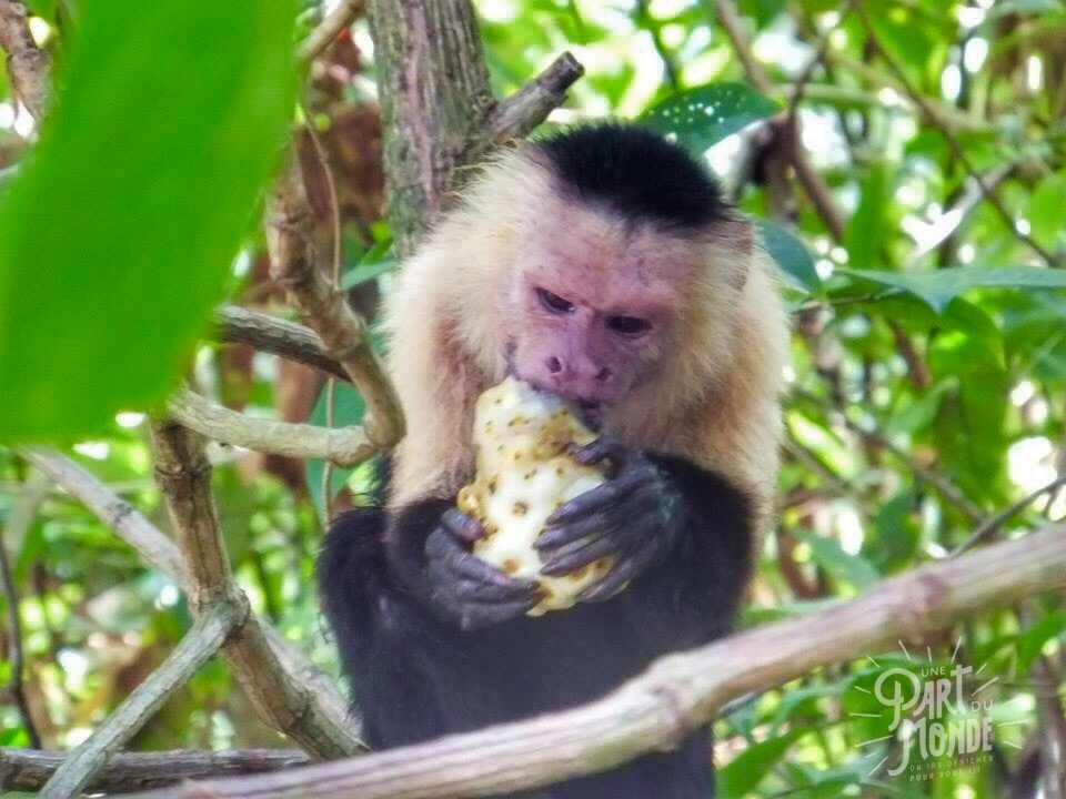 cahuita parc national singe