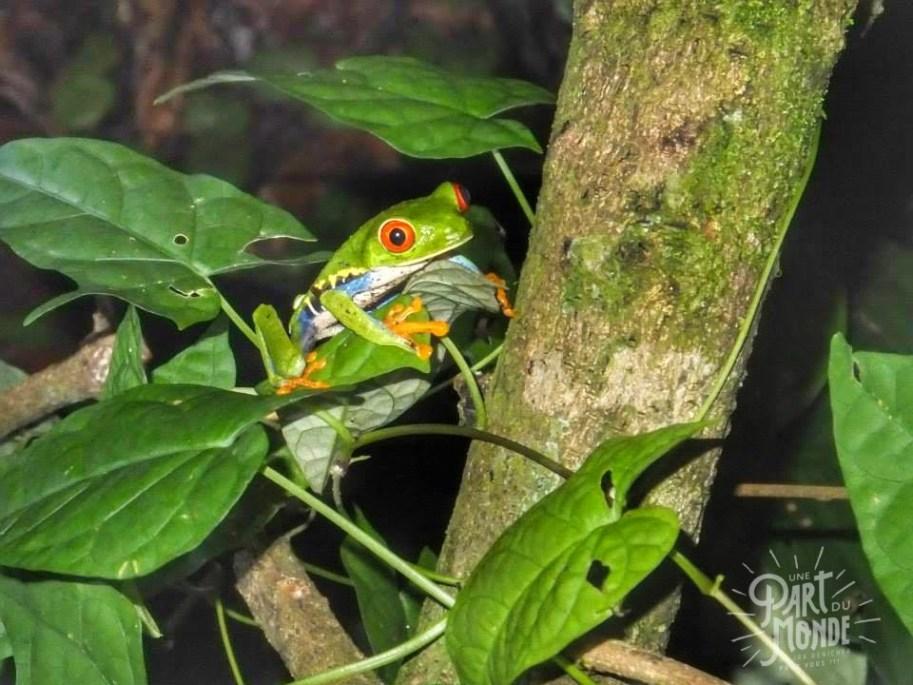 tortuguero grenouille