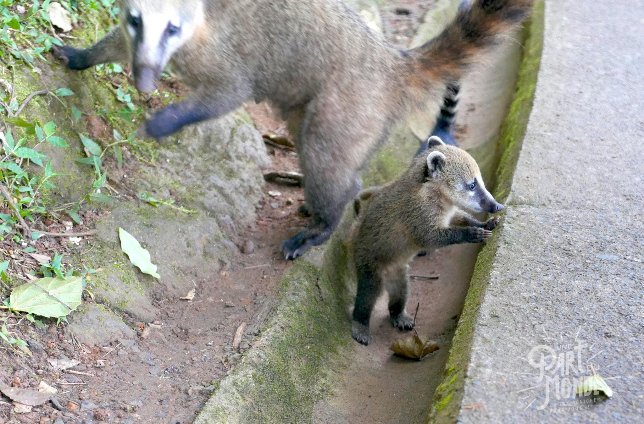 chutes d'iguazu côté brésilien bébé coatis