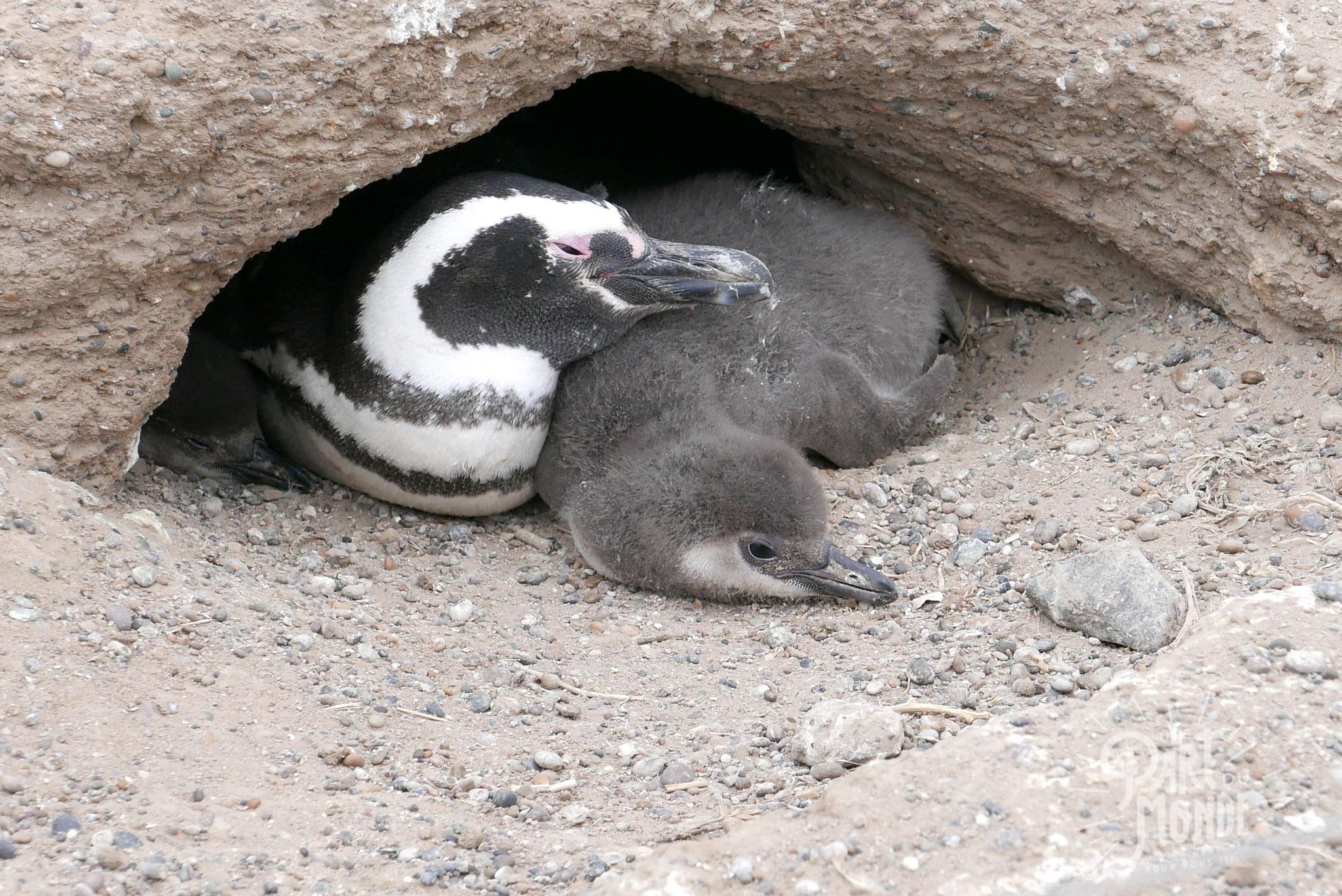 péninsule de valdès punta tombo bébé maman pinguin