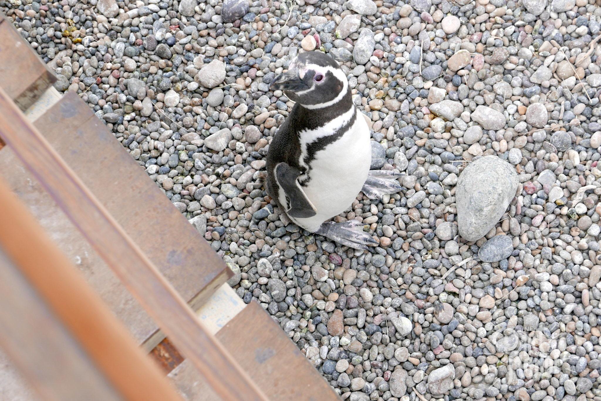 péninsule de valdès punta tombo pinguin 2