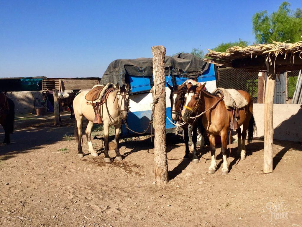chevaux sellés volontariat à mendoza