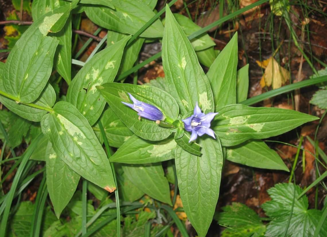 Paarsblauw bloemetje tussen groene bladeren