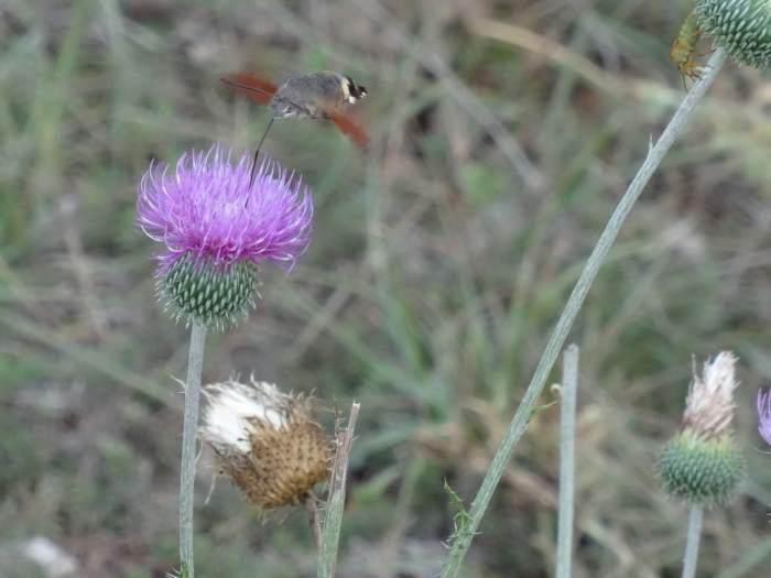 Een kolibrivlinder drinkt distel leeg in Causses en Cevennen