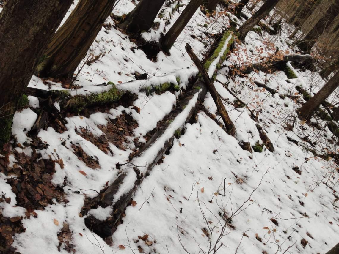 Over elkaar liggende beuken in de sneeuw