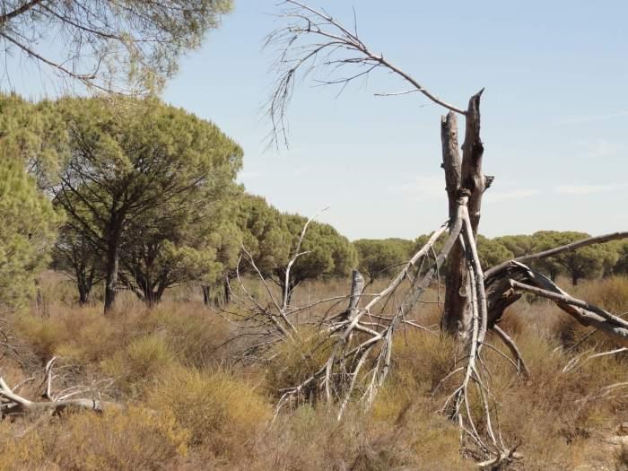Dode boom te midden van dor grasland in natuurpark Doñana
