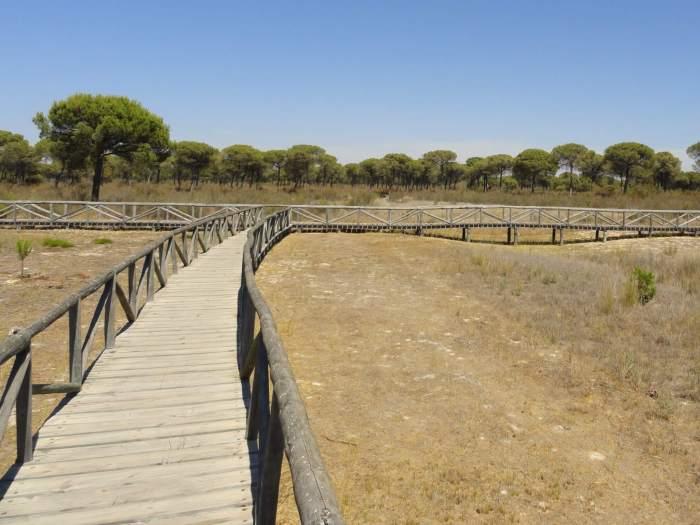 Houten vlonders langs parasolbomen in natuurpark Doñana