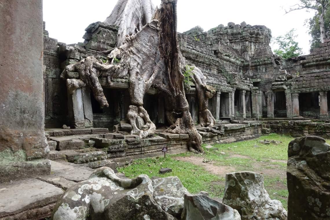 Vervallen tempel door jungleboom overwoekerd