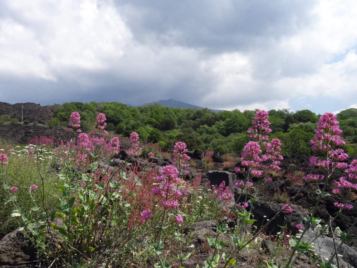 Paarse bloemen groeien op de Etna berg