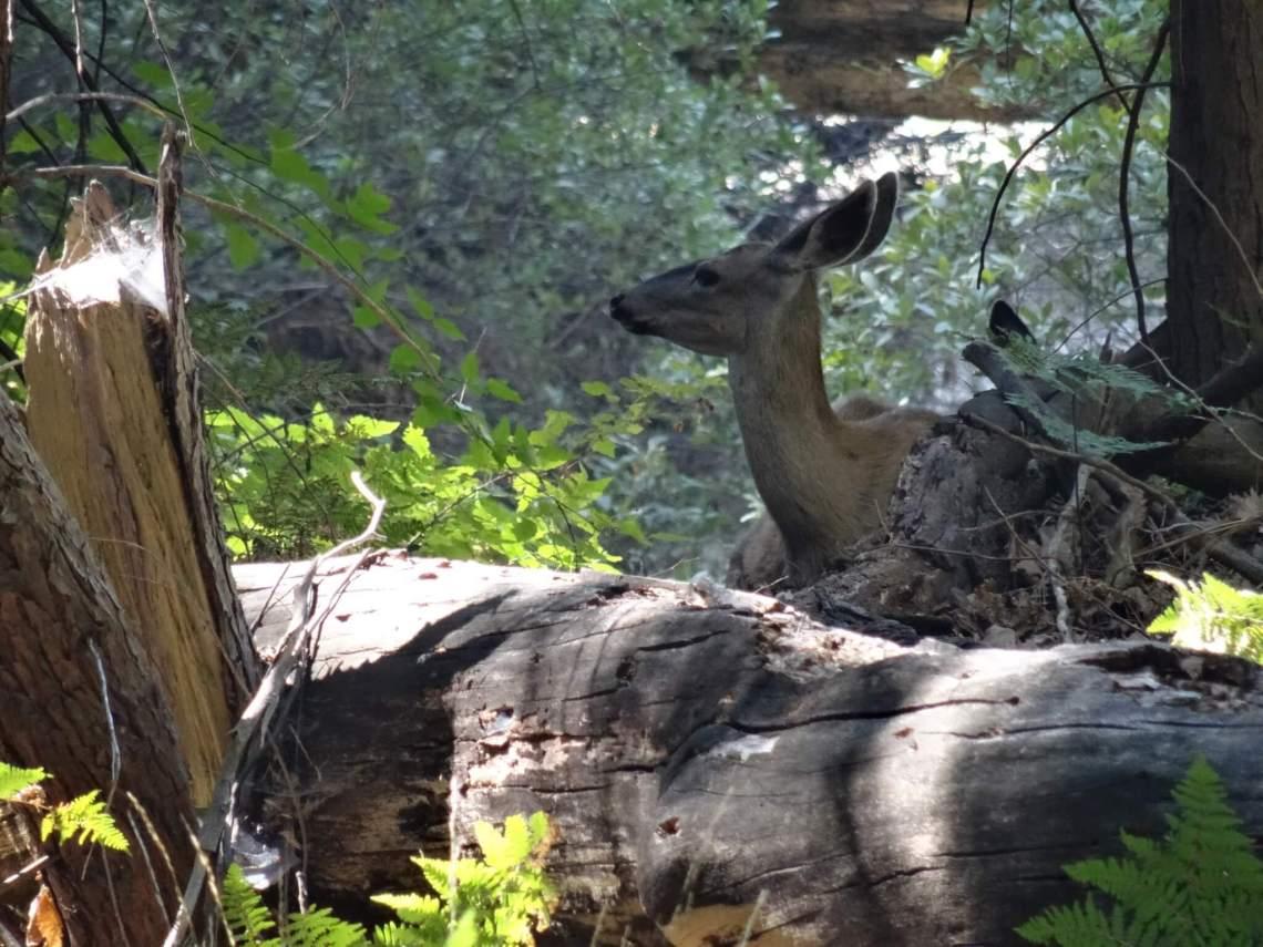Een hert duikt op tussen het struikgewas