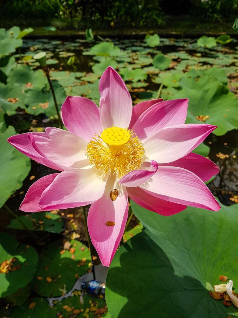 Fleur de lotus dans les jardins d'Ubud