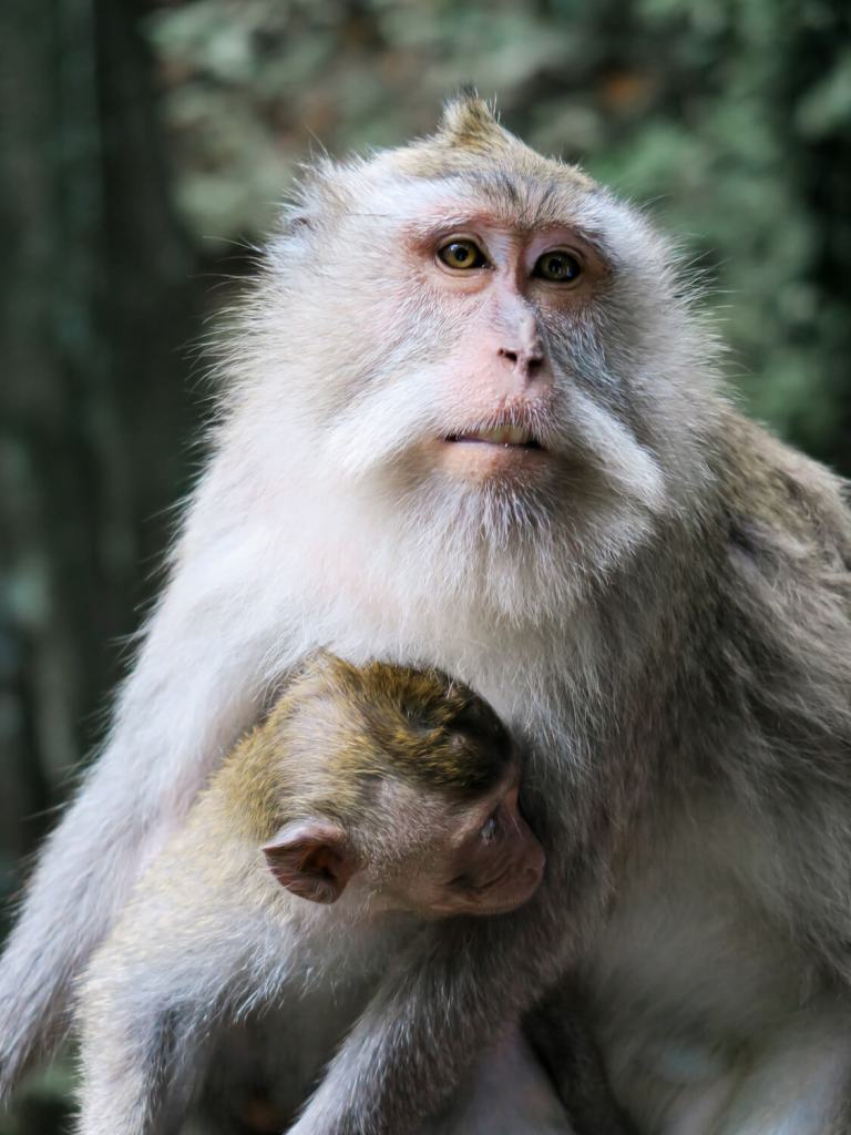 Singe en portrait - Monkey Forest
