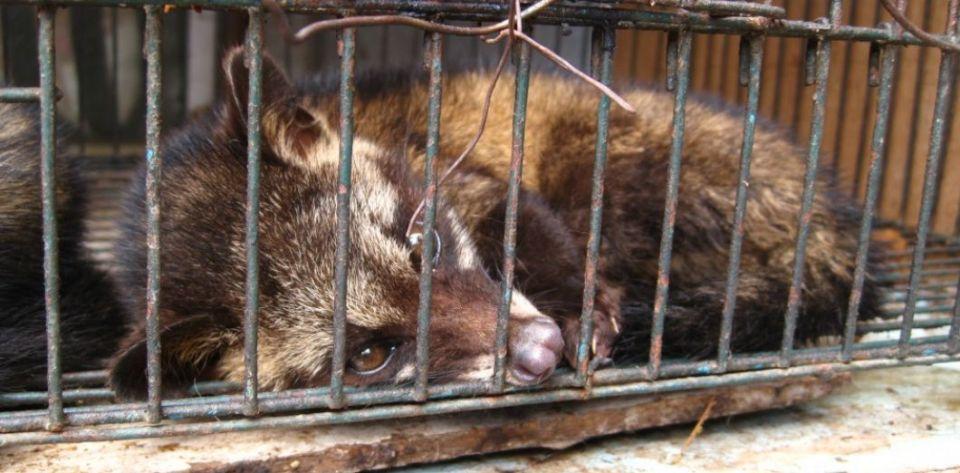 Une civette en cage retenue captive pour la production du café Luwak