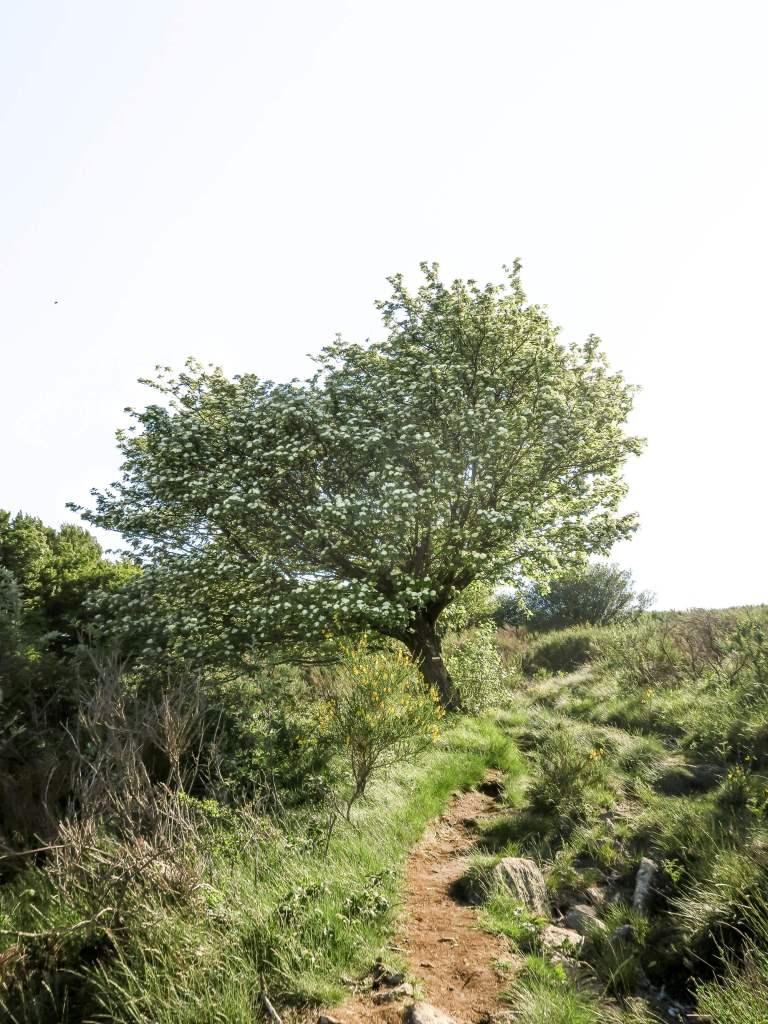Châtaignier en fleurs sur le plateau du Caroux