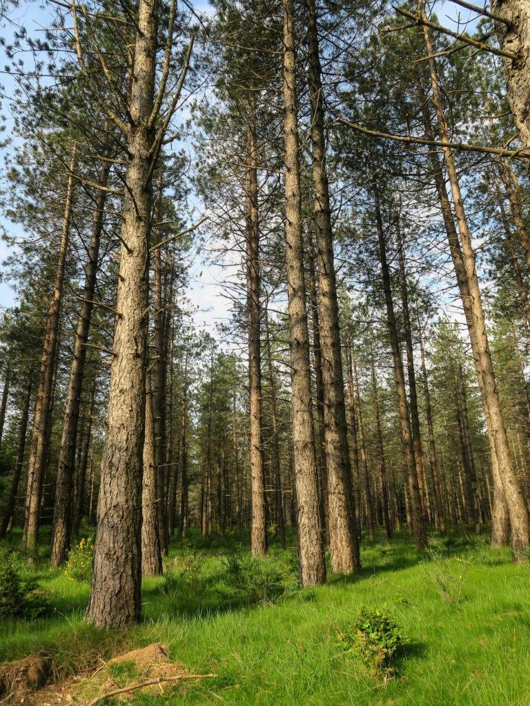 Forêt de pins de l'Espinouse