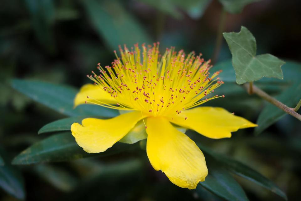 Fleur de millepertuis à grandes fleurs