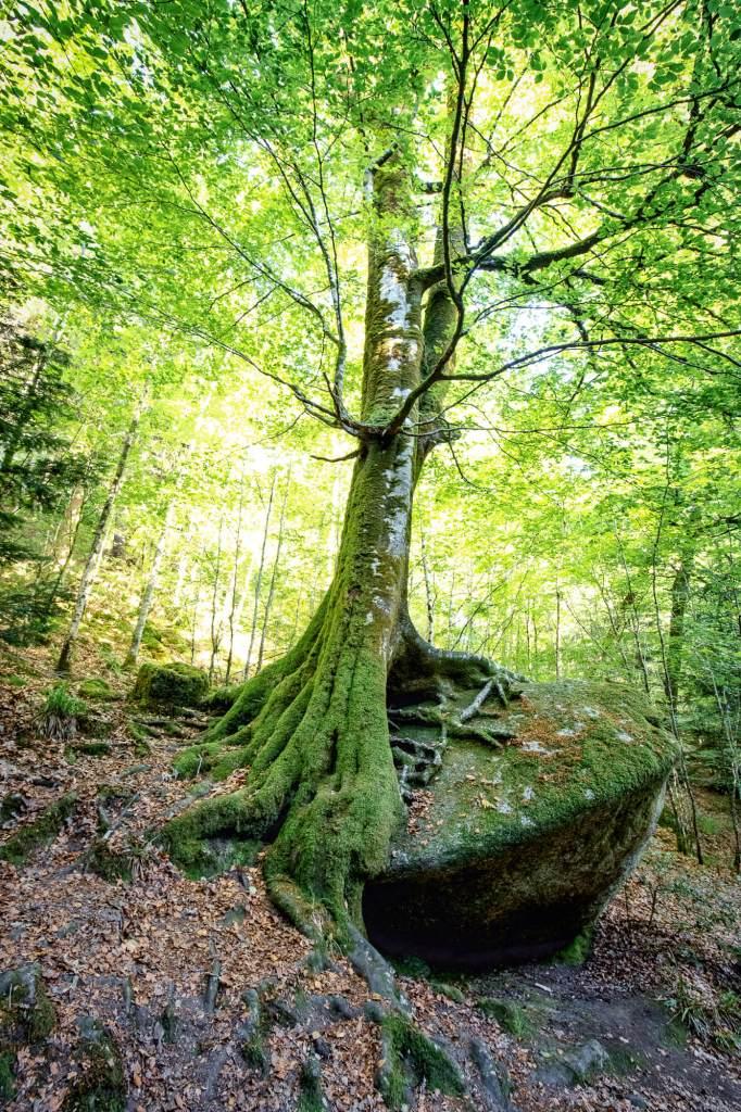 Arbre éclairé par le soleil avec ses racines noueuses