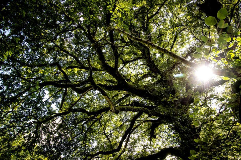 Chêne vu d'en bas dans la forêt d'Huelgoat