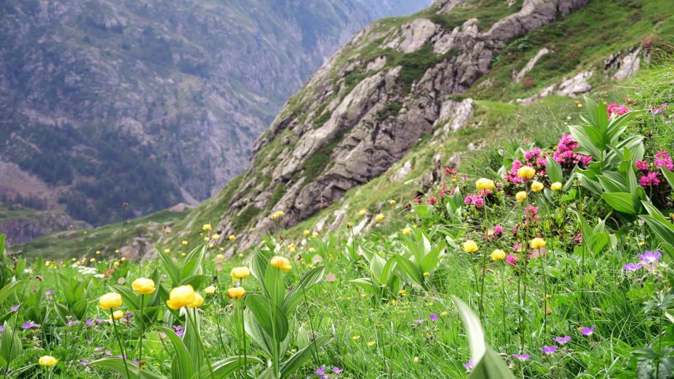 Champ de fleurs des montagnes avec vue sur la vallée du Valgaudemar, Hautes-Alpes