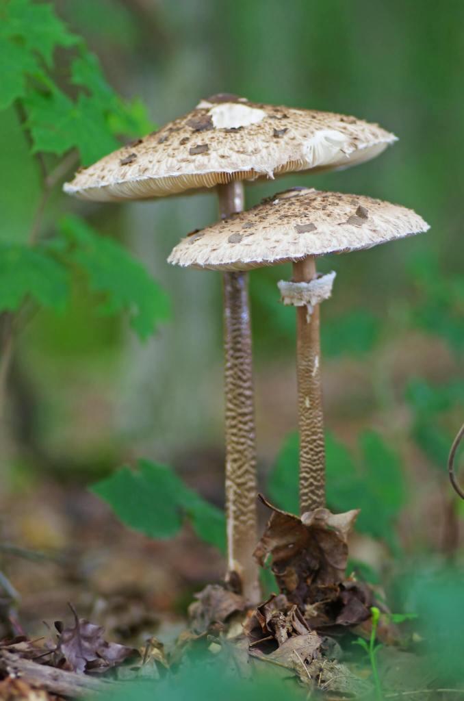 Un excellent champignon : la coulemelle ou lépiote élevée