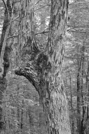 """Oak """"Trail Tree"""""""