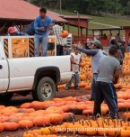 setting out more pumpkins