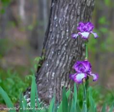 purple-iris-2