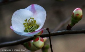 white-flowering-quince-1